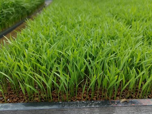 アート用稲の苗